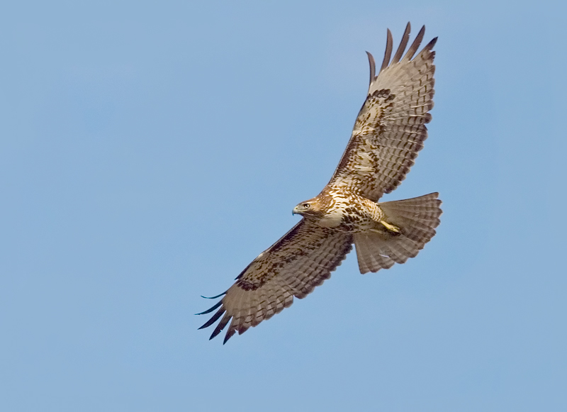 Red-tailed hawk flying over the last of Costa Mesa's open space